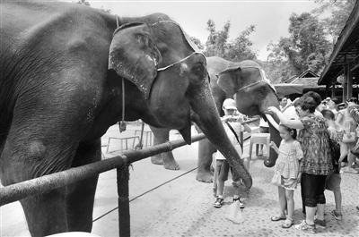 云南省西双版纳傣族自治州景洪市野象谷内进行的大象表演.