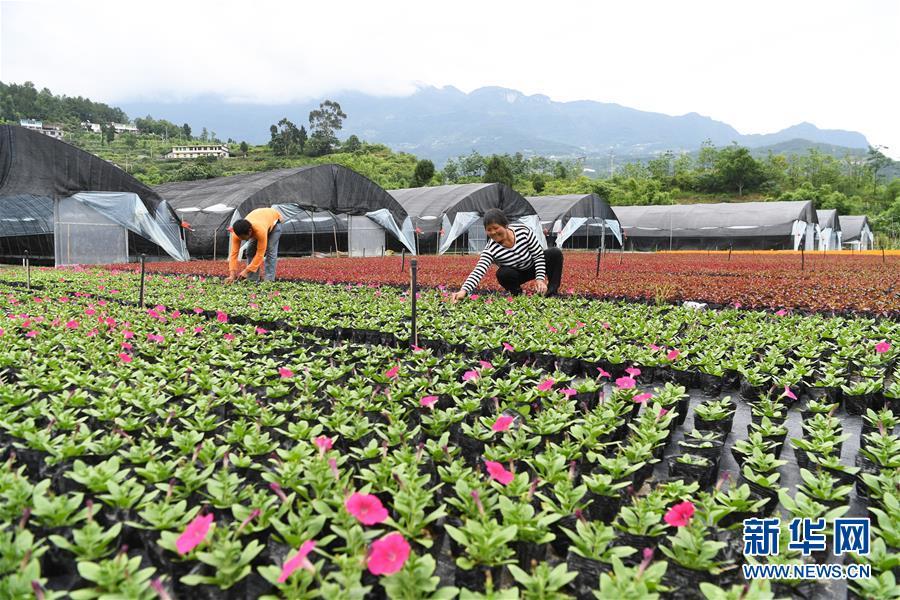 (經濟)(1)重慶武隆:花卉產業助力脫貧攻堅