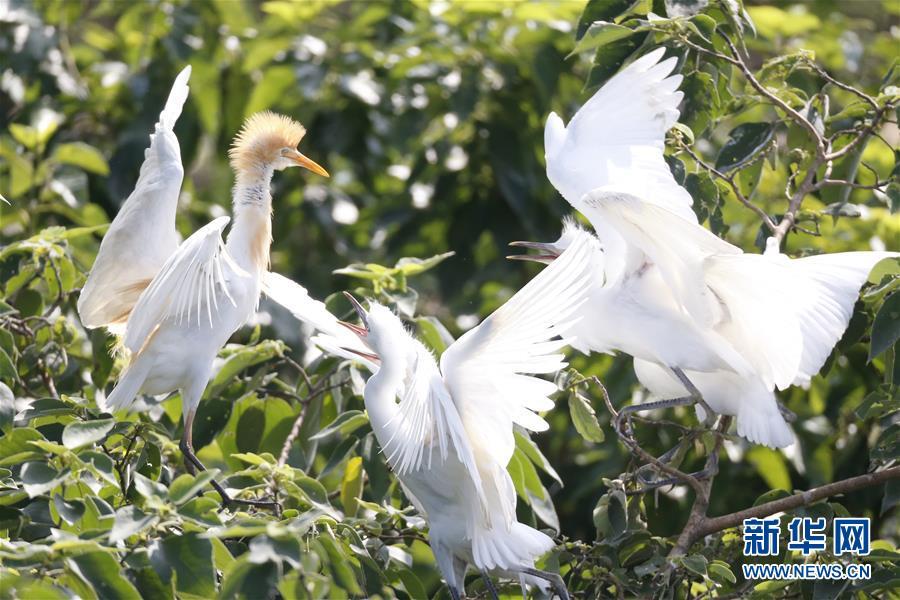 #(環境)(1)江蘇泗洪:鷺鳥枝頭舞翩翩