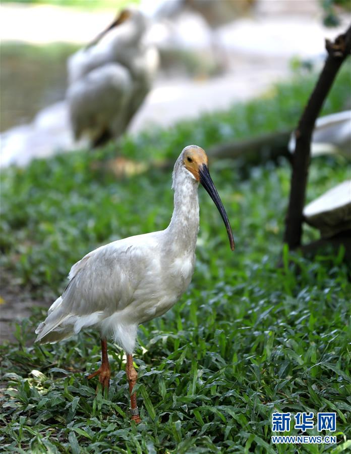 (環境)(1)8隻朱鹮幼鳥亮相廣東