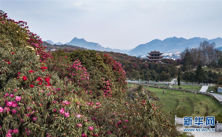 3月27日拍摄的贵州省毕节市百里杜鹃景区一隅(无人机拍摄).